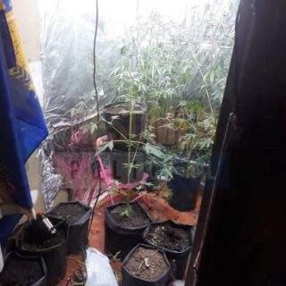 Otro hecho de sangre en la margen sur terminó con el allanamiento de una casa repleta de plantas de cannabis