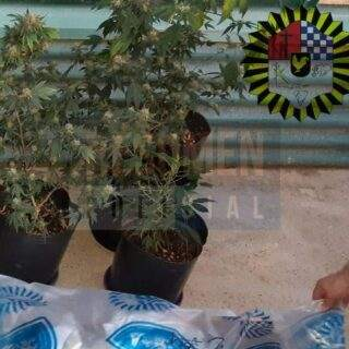 Lo detuvieron cuando procedió a transportas plantas de marihuana en su vehículo en horas de la madrugada